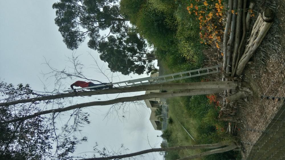 Big trees cut down