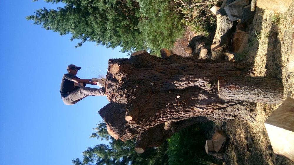 Cutting down of BIG tree stump