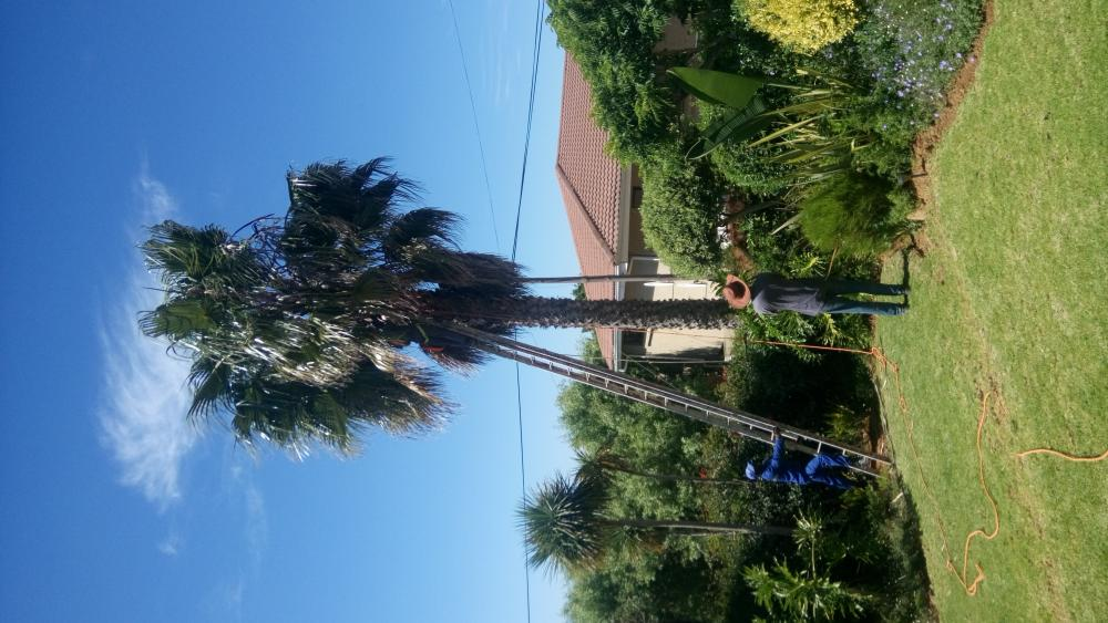 Palm Tree cutting and trimming